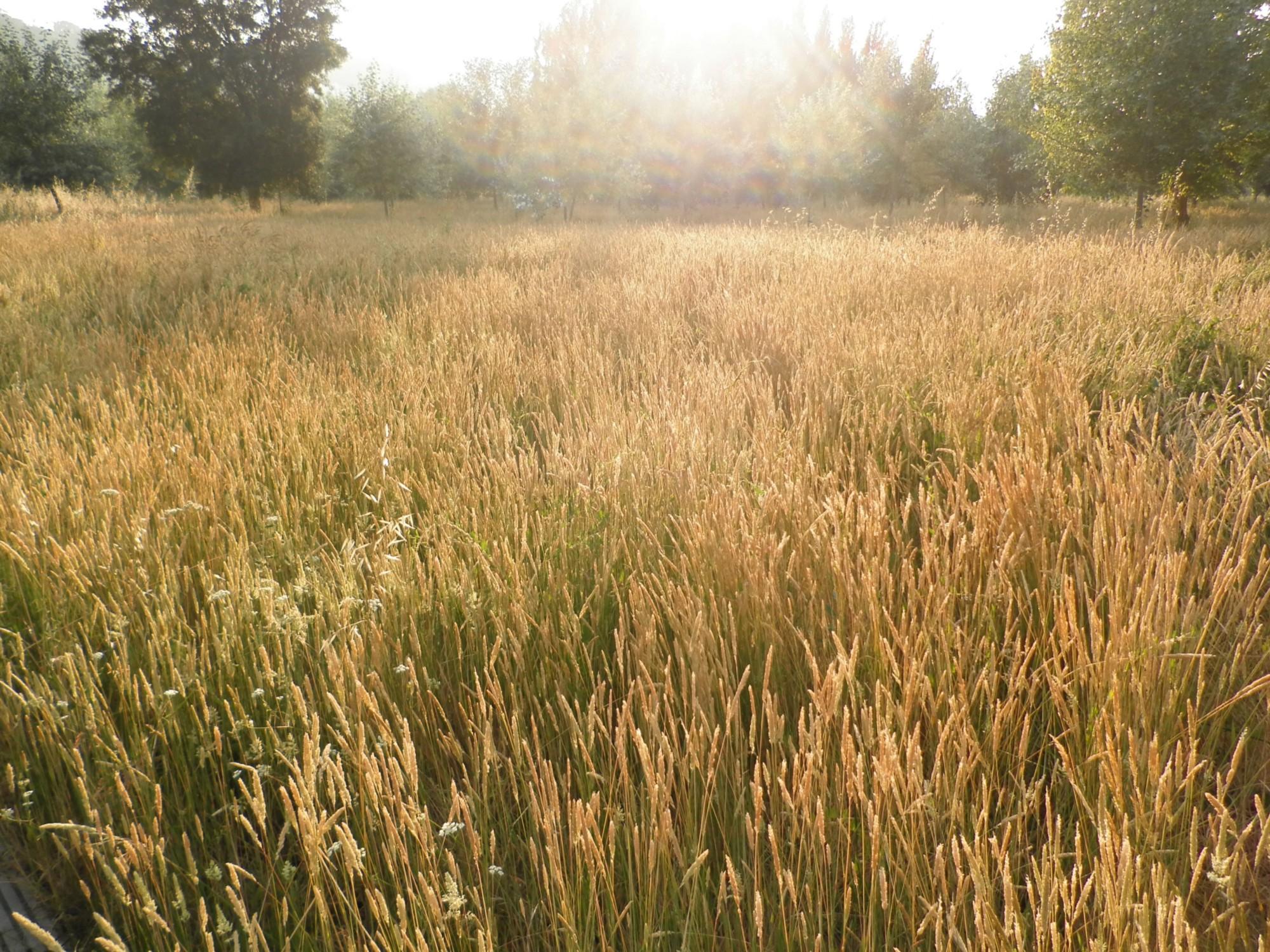 Um campo de trigo