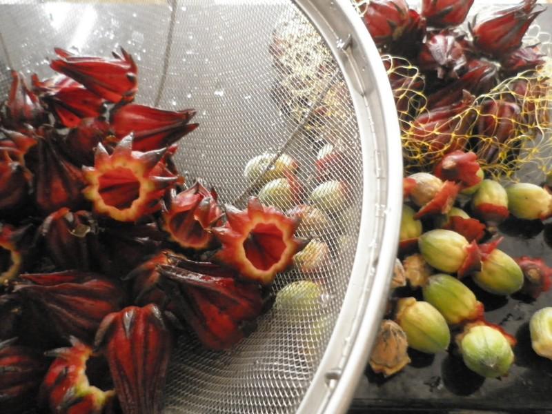cálices de hibisco vinagreira