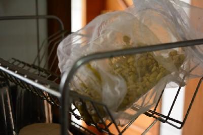 lentilhas germinando