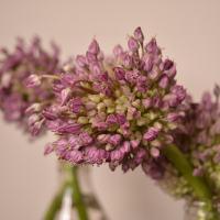 De comer e de enfeitar: a flor do alho poró