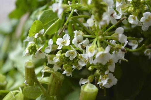 flor de agrião