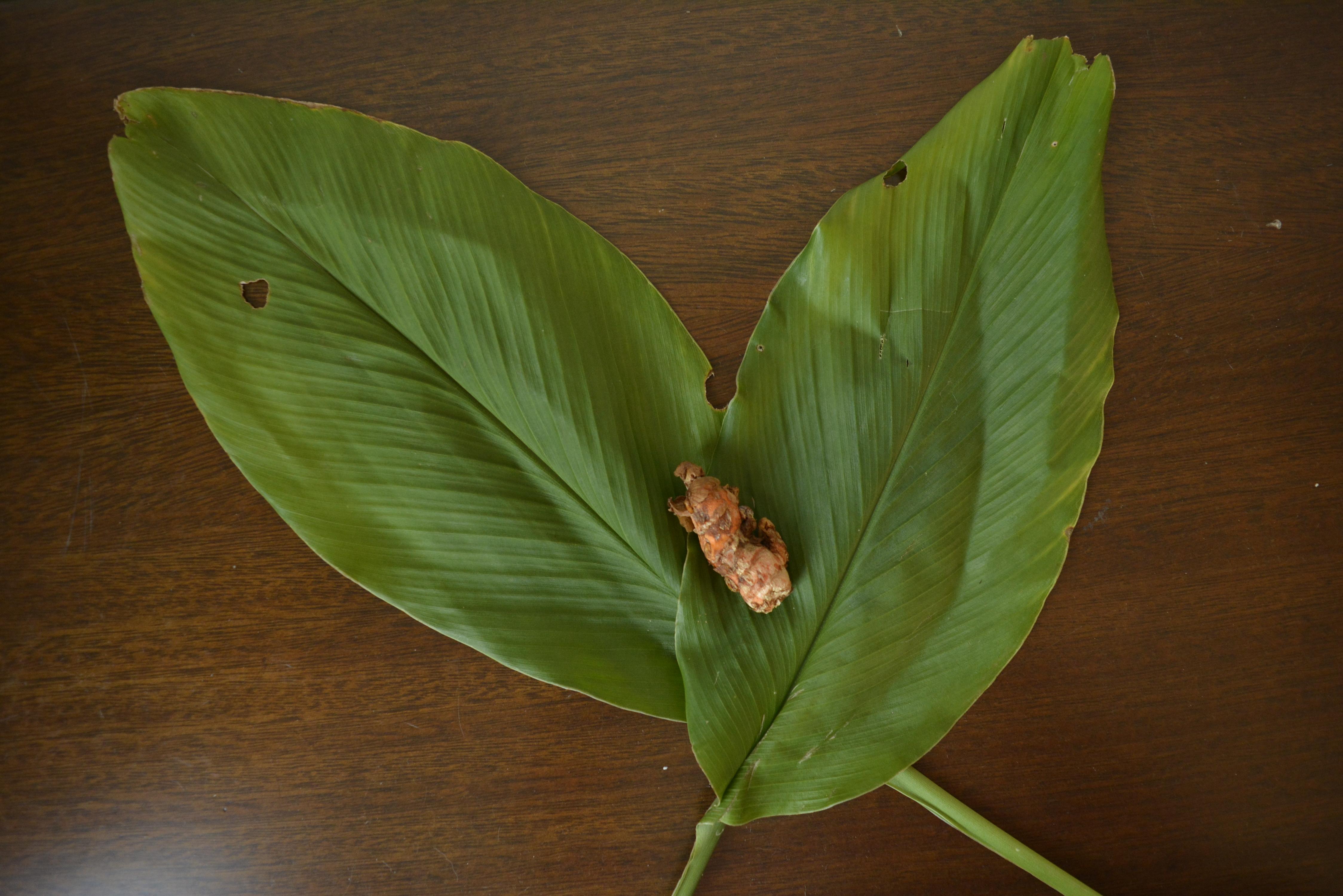 folha e raiz de açafrão da terra ou cúrcuma