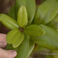 Folhas da Pimenta da jamaica